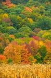 Χρώματα φθινοπώρου πίσω από έναν τομέα του ώριμου καλαμποκιού έτοιμο για τη συγκομιδή στο α Στοκ Φωτογραφία