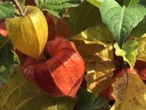 Χρώματα φθινοπώρου των κινεζικών φαναριών, που αυξάνονται στον κήπο στοκ φωτογραφίες