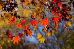 Χρώματα φθινοπώρου των φύλλων σφενδάμου σε αναδρομικά φωτισμένο Στοκ Φωτογραφία