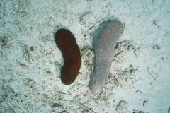 Χρώματα Bohadschia Argus αγγουριών θάλασσας λεοπαρδάλεων Στοκ φωτογραφίες με δικαίωμα ελεύθερης χρήσης