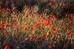χρώματος κόκκινο καλοκαίρι παπαρουνών πεδίων ινδικό Στοκ Εικόνα