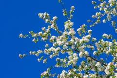 Χρώμα δέντρων της Apple το σπόρος-φέρον μέρος εγκαταστάσεων, σύσταση Στοκ Εικόνα