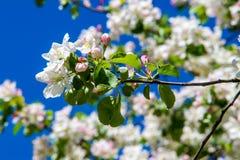 Χρώμα δέντρων της Apple το σπόρος-φέρον μέρος εγκαταστάσεων, σύσταση Στοκ Φωτογραφία