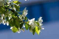 Χρώμα δέντρων της Apple το σπόρος-φέρον μέρος εγκαταστάσεων, σύσταση Στοκ Εικόνες