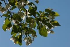 Χρώμα δέντρων της Apple το σπόρος-φέρον μέρος εγκαταστάσεων, σύσταση Στοκ εικόνα με δικαίωμα ελεύθερης χρήσης