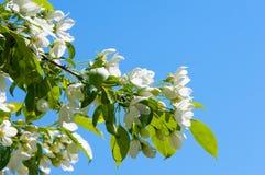 Χρώμα δέντρων της Apple το σπόρος-φέρον μέρος εγκαταστάσεων, σύσταση Στοκ Φωτογραφίες