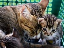 χρώμα οικογενειακών γατών καφετί στοκ εικόνες