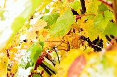 Χρώμα ουράνιων τόξων redcurrant στο θάμνο με το χιόνι στα τέλη του φθινοπώρου αρκτικών κύκλων στοκ φωτογραφία με δικαίωμα ελεύθερης χρήσης