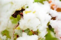 Χρώμα ουράνιων τόξων redcurrant στο θάμνο με το χιόνι στον πρόσφατο αρκτικό κύκλο στοκ φωτογραφία με δικαίωμα ελεύθερης χρήσης