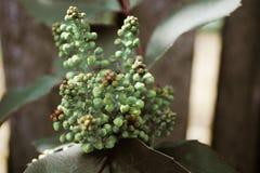 χρώμα πράσινο των ανθών στο Μπους που φυτεύει στον κήπο Στοκ Φωτογραφίες