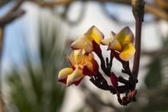 Χρώμα Plumeria κίτρινο Στοκ Φωτογραφίες