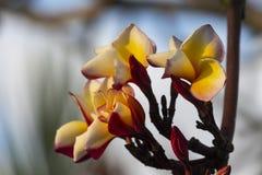 Χρώμα Plumeria κίτρινο Στοκ εικόνα με δικαίωμα ελεύθερης χρήσης