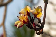 Χρώμα Plumeria κίτρινο Στοκ Εικόνα