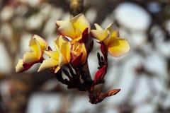 Χρώμα Plumeria κίτρινο Στοκ Φωτογραφία