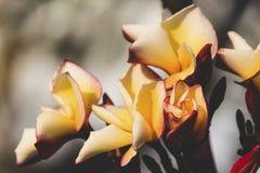 Χρώμα Plumeria κίτρινο Στοκ Εικόνες
