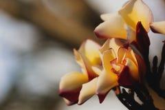 Χρώμα Plumeria κίτρινο Στοκ φωτογραφίες με δικαίωμα ελεύθερης χρήσης
