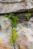 Χρώμιο biserrata Nephrolepsis Furcan στις πέτρες στον κήπο στοκ εικόνες