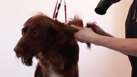 Χτένα Groomer και ξηρό σπανιέλ τρίχας hairdryer απόθεμα βίντεο