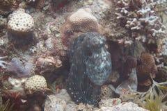 Χταπόδι σκοπέλων στη Ερυθρά Θάλασσα στοκ εικόνα