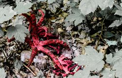 Χταπόδι stinkhorn - κόκκινα λεπτά όπλα Στοκ Εικόνες
