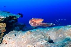 Χταπόδι που κολυμπά σε έναν σκόπελο στοκ εικόνες