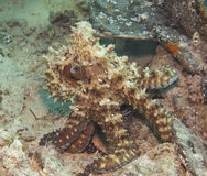 Χταπόδι σε μια κοραλλιογενή ύφαλο στοκ φωτογραφία με δικαίωμα ελεύθερης χρήσης