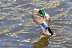 Χτυπώντας φτερά παπιών πρασινολαιμών σε μια λίμνη Στοκ Εικόνα
