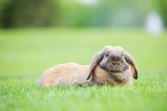 Χτύπημα-έχον νώτα κουνέλι κατοικίδιων ζώων στην πράσινη χλόη στο πάρκο Στοκ φωτογραφίες με δικαίωμα ελεύθερης χρήσης