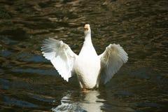 Χτύπημα παπιών το φτερό στοκ φωτογραφία με δικαίωμα ελεύθερης χρήσης