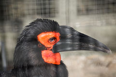 Χτύπημα του κόκκινου χρωματισμένου εδάφους Hornbill με τα όμορφα eyelashes Στοκ εικόνες με δικαίωμα ελεύθερης χρήσης