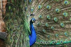 Χτύπημα peacock Στοκ Φωτογραφία