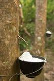 Χυμός των λαστιχένιων δέντρων που συλλέγουν για την παραγωγή του λάστιχου Στοκ φωτογραφία με δικαίωμα ελεύθερης χρήσης