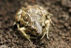 χωμάτινος βάτραχος Στοκ φωτογραφία με δικαίωμα ελεύθερης χρήσης