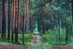 Χωμάτινος δρόμος μέσω του δάσους πεύκων στοκ εικόνα με δικαίωμα ελεύθερης χρήσης