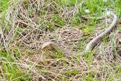Χωρίς πόδια σαύρα Sheltopusik ή apodus Pseudopus Στοκ φωτογραφία με δικαίωμα ελεύθερης χρήσης