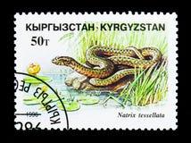 Χωρίστε σε τετράγωνα το φίδι (tessallata Natrix), ερπετά serie, circa το 1996 στοκ εικόνες