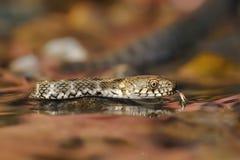 Χωρίστε σε τετράγωνα το φίδι - tessellata Natrix Στοκ Φωτογραφίες