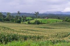 χωριό καλαμποκιού στο βουνό, αγρόκτημα καλαμποκιού στοκ εικόνες