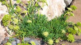 Χόρτο μάραθος ή Sea Fennel με χοντρούς στίχους και φύλλα απόθεμα βίντεο