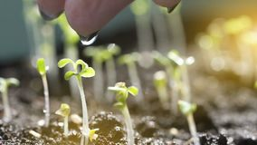 Χύνοντας νερό δάχτυλων κηπουρών Manicured θηλυκό στο νεαρό βλαστό απόθεμα βίντεο