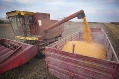 Χύνοντας σπόροι αραβόσιτου καλαμποκιού Στοκ Φωτογραφίες