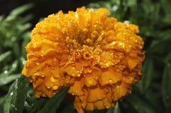 Χύσιμο πέρα από marigold το λουλούδι Στοκ Εικόνες