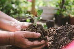 Χώμα εκμετάλλευσης ατόμων ανθοκόμων στα χέρια του Ένας νεαρός βλαστός στα χέρια ενός καλλιεργητή λουλουδιών Στοκ Εικόνες