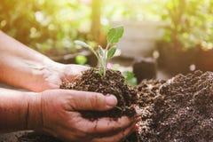 Χώμα εκμετάλλευσης ατόμων ανθοκόμων στα χέρια του Ένας νεαρός βλαστός στα χέρια ενός καλλιεργητή λουλουδιών Στοκ Φωτογραφία