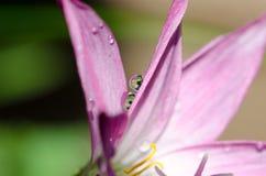Χώμα Lotus, χώμα γύρης Lotus Στοκ Φωτογραφία