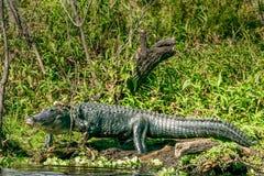 Χώρα Gator - βασιλιάς του έλους στοκ φωτογραφία με δικαίωμα ελεύθερης χρήσης