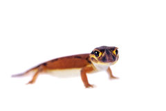Χλωμιάστε εξόγκωμα-παρακολουθημένο Gecko, στο λευκό Στοκ εικόνες με δικαίωμα ελεύθερης χρήσης