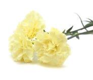 Χλωμιάστε - κίτρινα λουλούδια γαρίφαλων που απομονώνονται στοκ φωτογραφίες