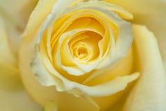 Χλωμιάστε - κίτρινος αυξήθηκε υπόβαθρο Στοκ Φωτογραφίες