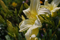 Χλωμιάστε - κίτρινος κρίνος σε έναν κήπο Daylilies Στοκ Εικόνες
